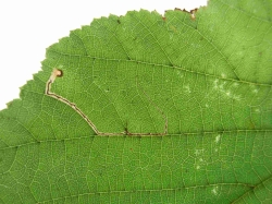 Leaf mine on Hazel