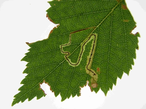 Leaf mine on Silver Birch