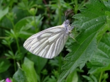 Fontmell Down, Dorset, May 2008, (male).