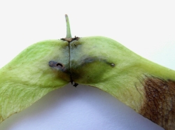 Ectoedemia sericopeza mine on Norway Maple seed