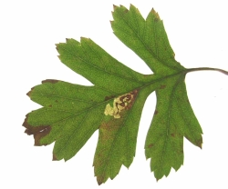 Leaf mine on Hawthorn