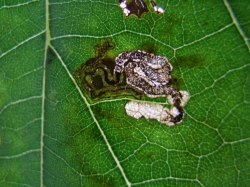 Stigmella tiliae mine on Lime