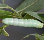 Final instar, Great Staughton, May 2011